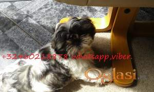 Imperial Shih Tzu Puppies Girl And Boy For Sale
