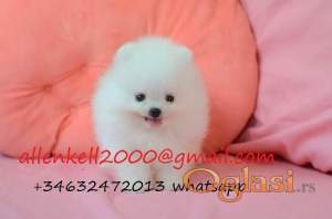 Pure White Tea Cup Pomeranian For Sale