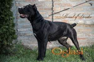 Cane Corso Female Protection Dog